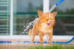 Den gulliga chihuahuahunden tar ett bad hemma Royaltyfri Bild