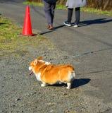 Den gulliga Corgihunden på parkerar arkivbilder
