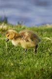 Den gulliga fågelungen går någonstans Royaltyfri Foto