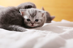 Den gulliga framsidan av behandla som ett barn kattungen, första dagar av liv Arkivbilder