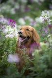 Den gulliga golden retriever i blommorna Arkivfoto