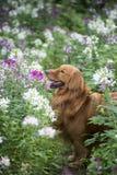 Den gulliga golden retriever i blommorna Fotografering för Bildbyråer