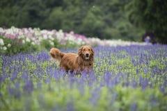 Den gulliga golden retriever i blommorna Arkivfoton