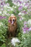 Den gulliga golden retriever i blommorna Arkivbilder
