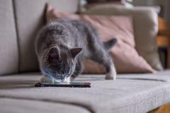 Den gulliga gråa kattungen, sköt inomhus arkivbild
