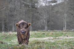 Den gulliga höglands- kon behandla som ett barn Royaltyfri Foto