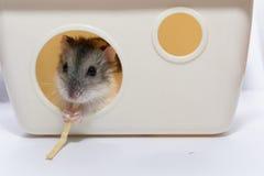 Den gulliga hamstern äter godisen Royaltyfri Fotografi