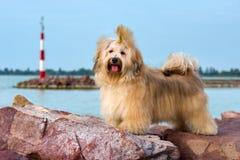 Den gulliga Havanese hunden står i en hamn, lookin Royaltyfria Bilder