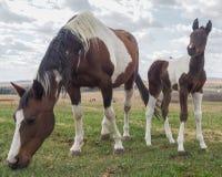 Den gulliga hingstfölet, behandla som ett barn hästen, betar in Royaltyfria Bilder