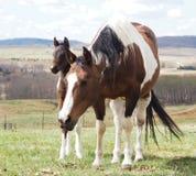Den gulliga hingstfölet, behandla som ett barn hästen, betar in Arkivfoton