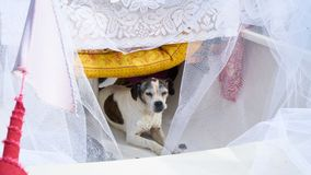 Den gulliga hunden önskar att vara bruden Arkivfoton