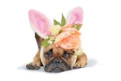 Den gulliga hunden för den franska bulldoggen för den easter kaninen som ligger på golvuppklädd med pionen, och rosor blommar kan arkivfoto