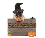 Den gulliga hunden för den halloween mopsvalpen med häxahatten och pumpor och träbrädet undertecknar med bokstäver halloween Arkivbild