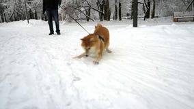 Den gulliga hunden har gyckel, rotering som spelar med snö, uppför roligt snowing Vinter arkivfilmer