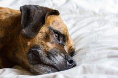 Den gulliga hunden lägger på att reflektera för säng arkivfoton