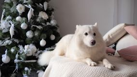 Den gulliga hunden ligger på slags tvåsittssoffa stuckit vitt träd för nytt år för pläd nära festively dekorerat stock video
