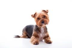 Den gulliga hunden ligger på vit bakgrund Yorkshire Terrier Fotografering för Bildbyråer