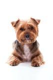 Den gulliga hunden ligger på vit bakgrund Yorkshire Terrier Royaltyfria Foton