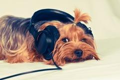 Den gulliga hunden lyssnar till musik Royaltyfria Bilder