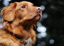 Den gulliga hunden ser av in i avståndet Royaltyfria Bilder