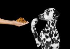 Den gulliga hunden vägrar att äta från handen Arkivbilder
