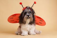 Den gulliga hunduppklädden för allhelgonaafton gillar en nyckelpiga royaltyfri bild