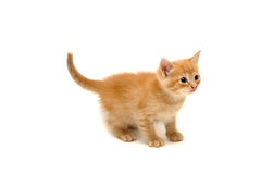 den gulliga ingefäran isolerade kattungewhite Arkivfoton