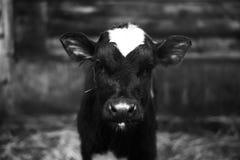 Den gulliga kalven ser in i objektet svart white royaltyfri foto