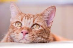 Den gulliga kattblicken på himlen är det lat och kopplat av royaltyfria foton