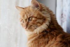Den gulliga katten behandla som ett barn stirrande Fotografering för Bildbyråer