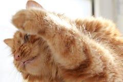 Den gulliga katten behandla som ett barn stirrande Arkivfoto