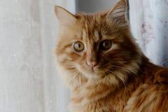 Den gulliga katten behandla som ett barn stirrande Arkivbilder