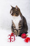 Den gulliga katten med gåvaasken och hristmas klumpa ihop sig på vit päls Fotografering för Bildbyråer