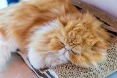 Den gulliga katten sover Arkivbilder