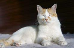 den gulliga katten ta sig en tupplur Arkivbilder