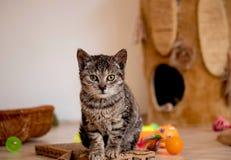 Den gulliga kattungen är sitta och se dig, leksaker för kattungar, korgen och ett hus för en kattunge royaltyfria foton