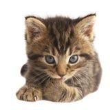 Den gulliga kattungen. arkivfoto