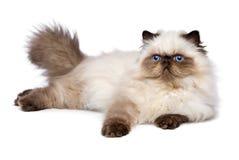 Den gulliga kattungen för 3 månad gamla persiska skyddsremsacolourpoint ligger Royaltyfri Foto