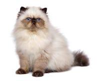 Den gulliga kattungen för 3 månad gamla persiska skyddsremsacolourpoint sitter Arkivfoton