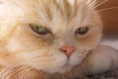 Den gulliga kr?m- strimmig kattkatten vilar hans huvud tafsar, st?nger sig p? upp royaltyfri bild