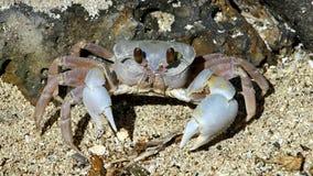 Den gulliga krabban Arkivfoto
