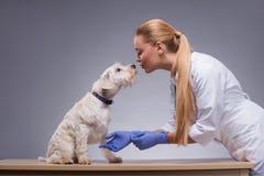 Den gulliga lilla hunden besöker veterinären Royaltyfri Fotografi