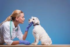 Den gulliga lilla hunden besöker veterinären Royaltyfria Foton