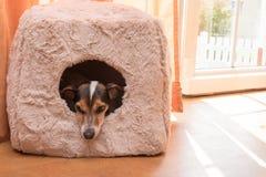 Den gulliga lilla hunden ligger bekvämt i en kattgrotta - Jack Russell 10 gamla år - slät hårstil royaltyfri fotografi