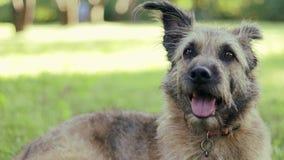 Den gulliga lurviga hunden som ligger på gräset på, parkerar på en solig dag arkivfilmer