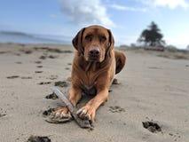 Den gulliga lyckliga stora hunden med spela för pinne hämtar på stranden som ser kameran med det rynkiga krönet på sand med suddi royaltyfri bild