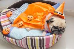 Den gulliga mopshunden med dräkten av lycklig halloween dagsömn vilar lägger ner på säng med plast- pumpa Royaltyfri Fotografi