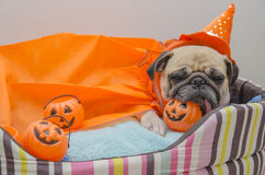 Den gulliga mopshunden med dräkten av lycklig halloween dagsömn vilar lägger ner på säng med plast- pumpa Royaltyfria Foton