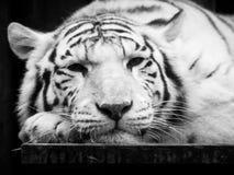 Den gulliga och lata vita tigern som ligger på skrivbordet på dess, tafsar Stående för löst djur Svartvit bild Royaltyfria Bilder