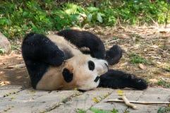 Den gulliga pandan sover på jordningen Arkivfoto